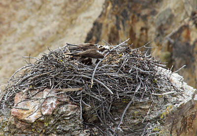 Photograph - Osprey Nest by Jill Bell