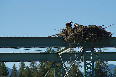 Photograph - Osprey Nest With Mom And Chicks by Mick Anderson