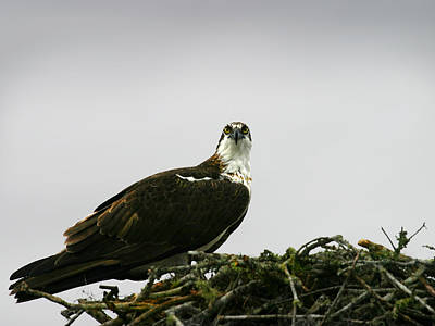 Photograph - Osprey Nesting by Anthony Jones