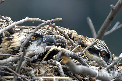 Photograph - Osprey Nestlings by Lauren Brice