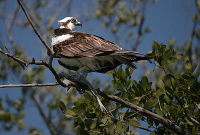 Photograph - Osprey Of The Everglades by Kathleen Scanlan