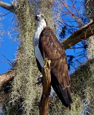 Photograph - Osprey On Alert by Denise Mazzocco