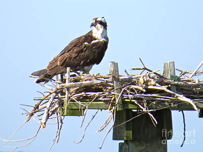 Photograph - Osprey On The Chesapeake Bay by Nancy Patterson
