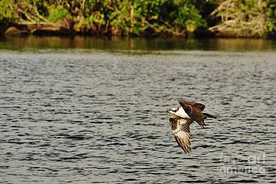 Photograph - Osprey Over The River by Wibada Photo