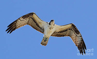 Photograph - Osprey Overhead by Kevin McCarthy