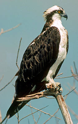 Photograph - Osprey Pandion Haliaetus Carolinensis by Millard H. Sharp