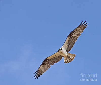 Photograph - Osprey Pandion Haliaetus In Flight by Liz Leyden