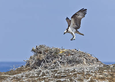 Baja Photograph - Osprey Pandion Haliaetus by Liz Leyden