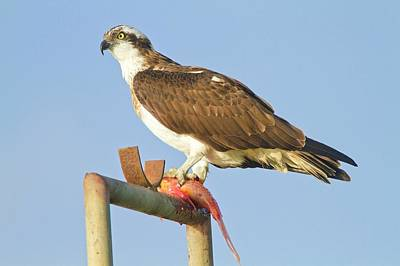 Birds Of Israel Photograph - Osprey (pandion Haliaetus) by Photostock-israel