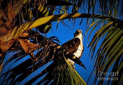 Ospreys Wall Art - Photograph - Osprey Paradise by Quinn Sedam