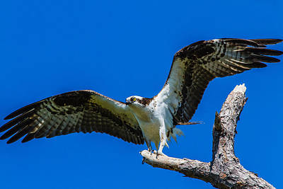 Valentines Day - Osprey Perched by Jeff Donald