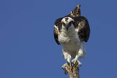 Photograph - Osprey Photo by Meg Rousher