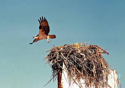 Photograph - Osprey by Phyllis Kaltenbach