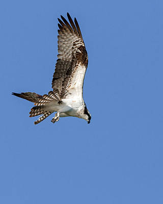 Photograph - Osprey Preparing To Dive by Jack Bell