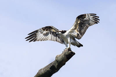 Photograph - Osprey Pride  by David Lester