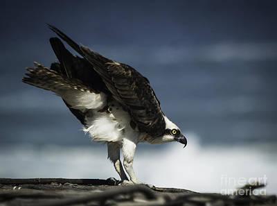 Osprey Ready For Takeoff Art Print by Richard Mason