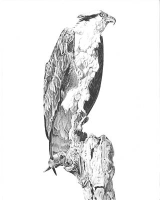 Osprey Drawing - Osprey by Reppard Powers