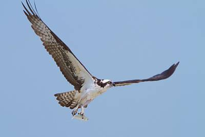 Photograph - Osprey Snack by David Beebe
