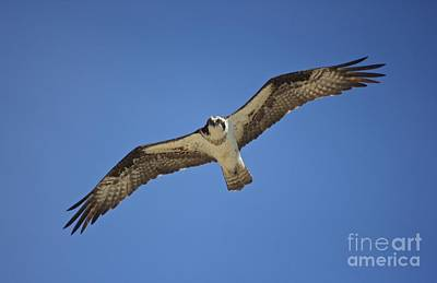 Photograph - Osprey Soaring by Amazing Jules