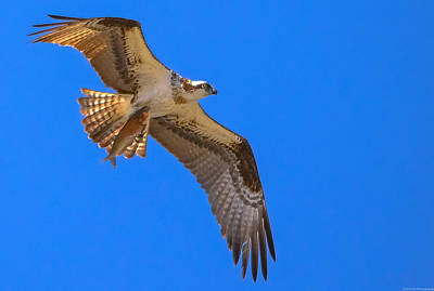 Photograph - Osprey Take-out by Jeff at JSJ Photography