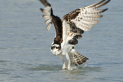 Photograph - Osprey Taking Off by Bradford Martin