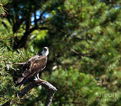 Photograph - Osprey Talk by Michelle Constantine