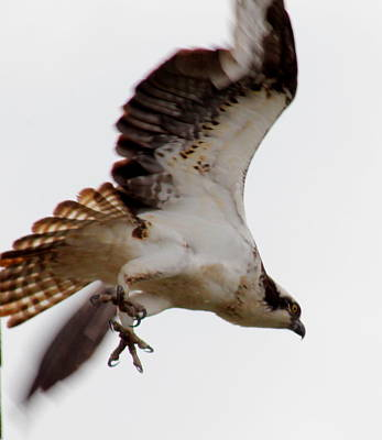 Photograph - Osprey Talons by Trent Mallett