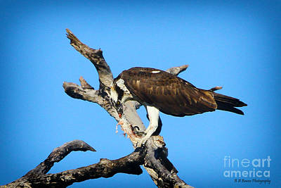 Photograph - Osprey Tears At His Catch by Barbara Bowen