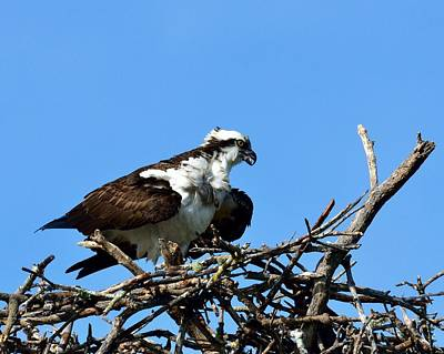 Photograph - Osprey by Walt Sterneman
