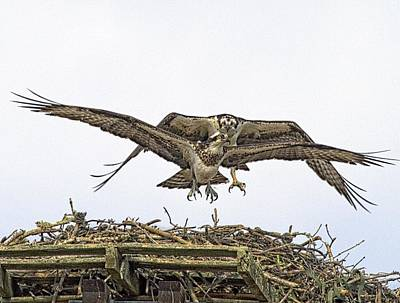 Osprey Wings And Talons Art Print by Constantine Gregory