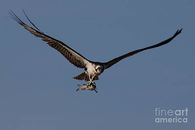 Photograph - Osprey With Catfish by Meg Rousher