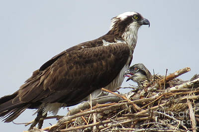 Photograph - Osprey With Chick by Frank Townsley