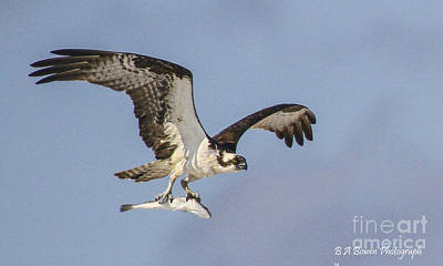 Photograph - Osprey With Dinner by Barbara Bowen
