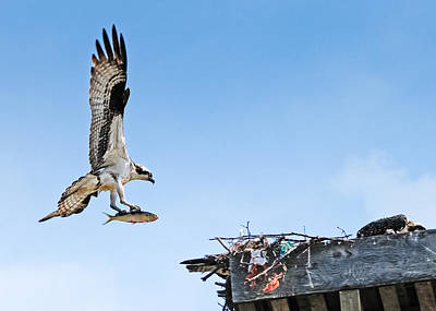 Photograph - Osprey With Fish by Bonnie Fink
