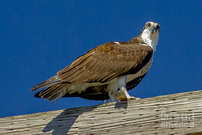 Osprey With Fish In Talons Art Print by Dale Powell