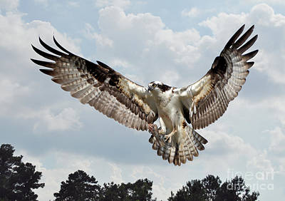 Osprey With Fish In Talons Art Print