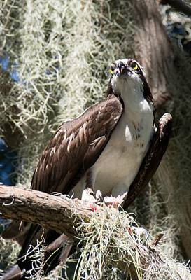 Photograph - Osprey With Fish by John Black