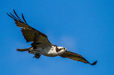 Fly Photograph - Osprey With Its Little Pray by Andres Leon