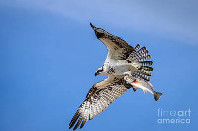 With Red. Photograph - Osprey With Red Fish Dinner by Debra Martz