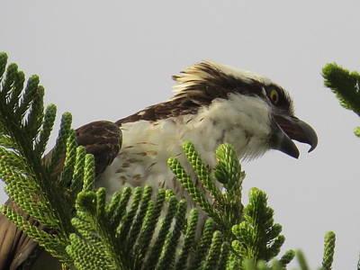 Osprey Photograph - Osprey's Call by Zina Stromberg