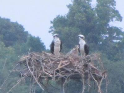 Photograph - Osprey's Chatting On The Chesapeake Bay by Debbie Nester
