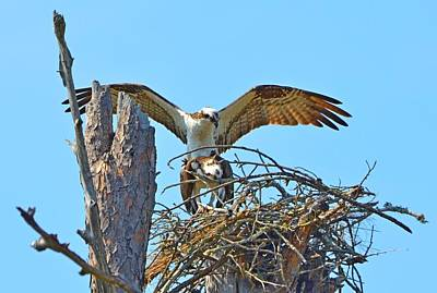 Photograph - Ospreys Copulating In New Nest2 by Jeff at JSJ Photography