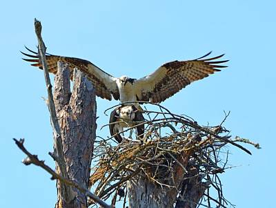 Photograph - Ospreys Copulating In New Nest3 by Jeff at JSJ Photography