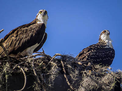 Eagles Photograph - Ospreys In The Nest by Zina Stromberg