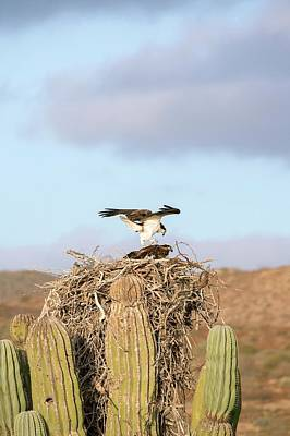 Ospreys Nesting In A Cactus Print by Christopher Swann