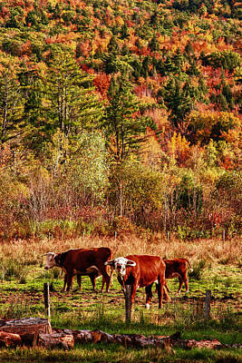 Autumn Photograph - Cow Complaining About Much by Jeff Folger