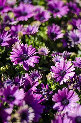Photograph - Osteospermum by Heather Applegate