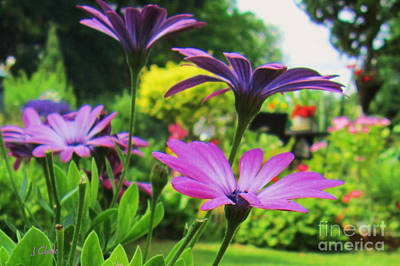 Asters Photograph - Osteospermum  by John Clark