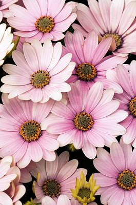 Osteospermum Photograph - Osteospermum 'serenity Pink' Flowers by Adrian Thomas
