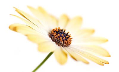 Osteospermum Sunny Flower I Art Print by Natalie Kinnear